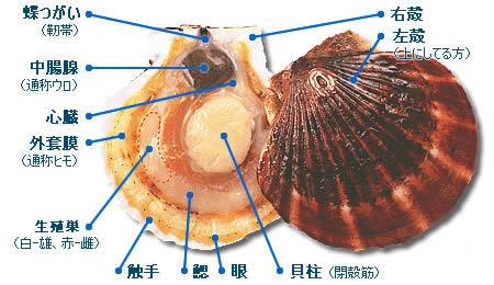 ほたて貝の各部の名称